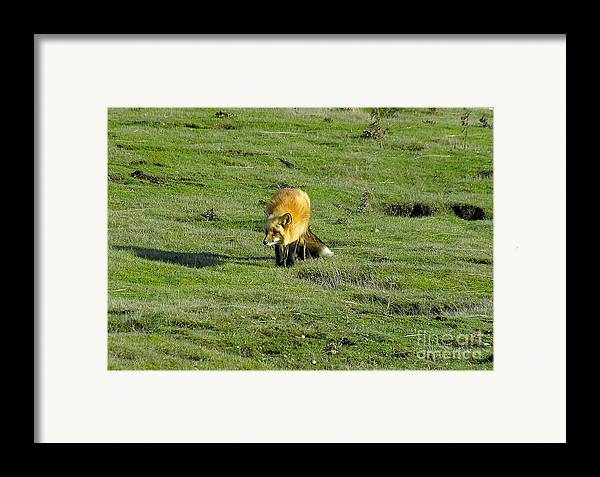 Fox Framed Print featuring the photograph Red Fox by Louise Magno