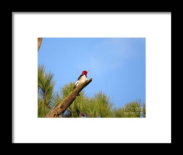 Birds Framed Print featuring the photograph Red-headed Woodpecker by Charles Green