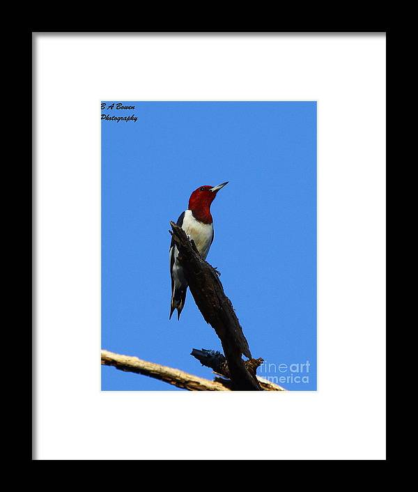 Red Headed Woodpecker Framed Print featuring the photograph Red Headed Woodpecker On A Snag by Barbara Bowen