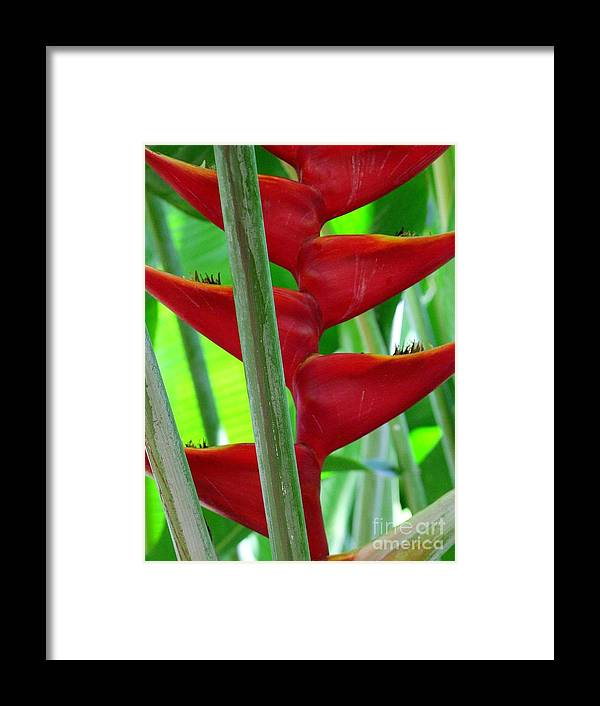 Red Flowers Framed Print featuring the photograph Red Heliconia by Mary Deal