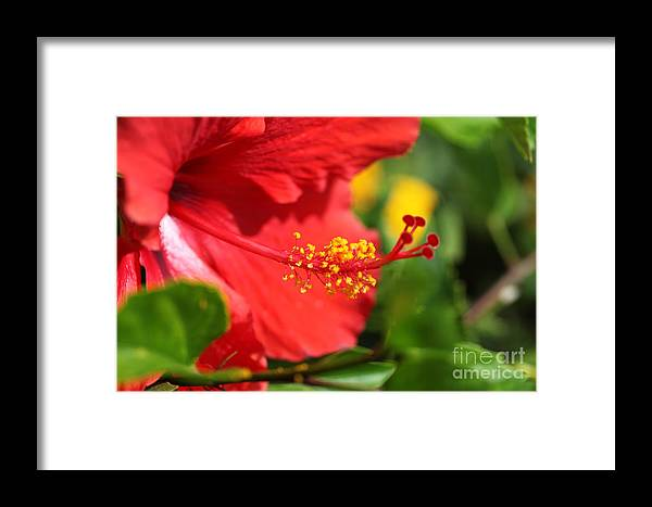 Flowers Framed Print featuring the photograph Red Hibiscus And Green by Nadine Rippelmeyer