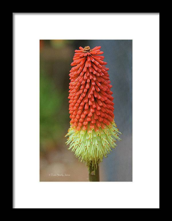 Red Hot Pokers Framed Print featuring the photograph Red Hot Pokers by Tom Janca
