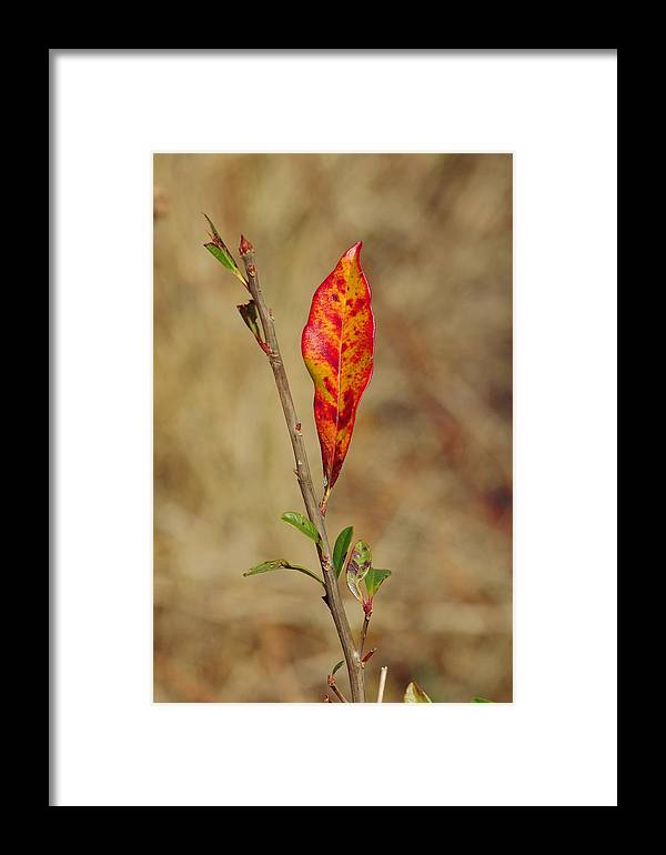 Red Framed Print featuring the photograph Red Leaf by Aaron Rushin