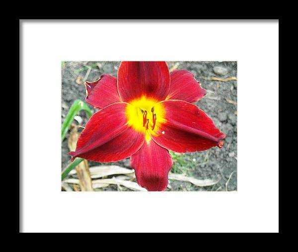 Red Lily Framed Print featuring the photograph Red Lily by Ward Smith