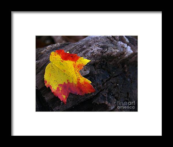 Leaf Framed Print featuring the photograph Red Maple Leaf On Old Log by Anna Lisa Yoder