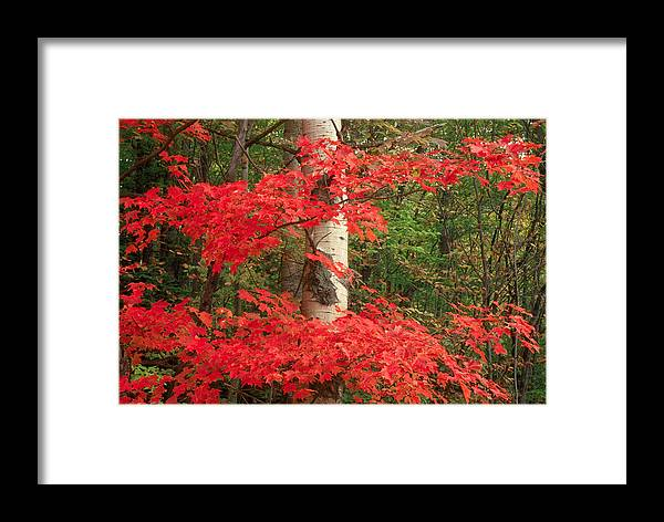 Fall Framed Print featuring the photograph Red Maple by Raju Alagawadi