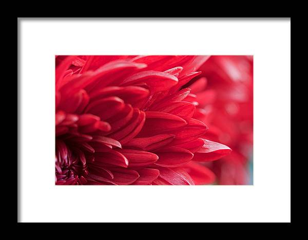 Red Framed Print featuring the photograph Red Mum by Jim Gillen