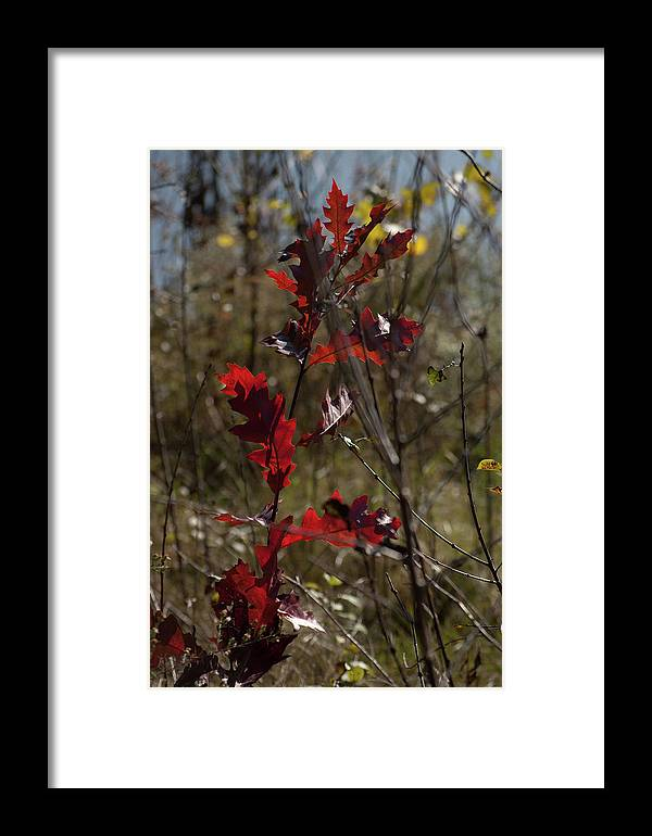 Red Oak Framed Print featuring the photograph Red Oak by RonSher Brooks