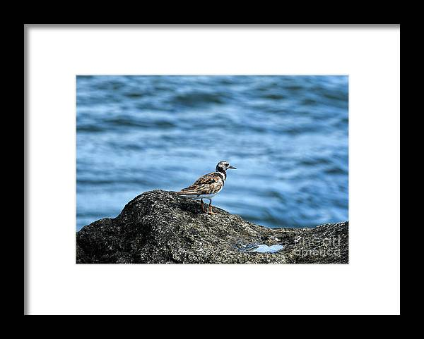 Ruddy Turnstone Framed Print featuring the photograph Ruddy Turnstone by William Tasker