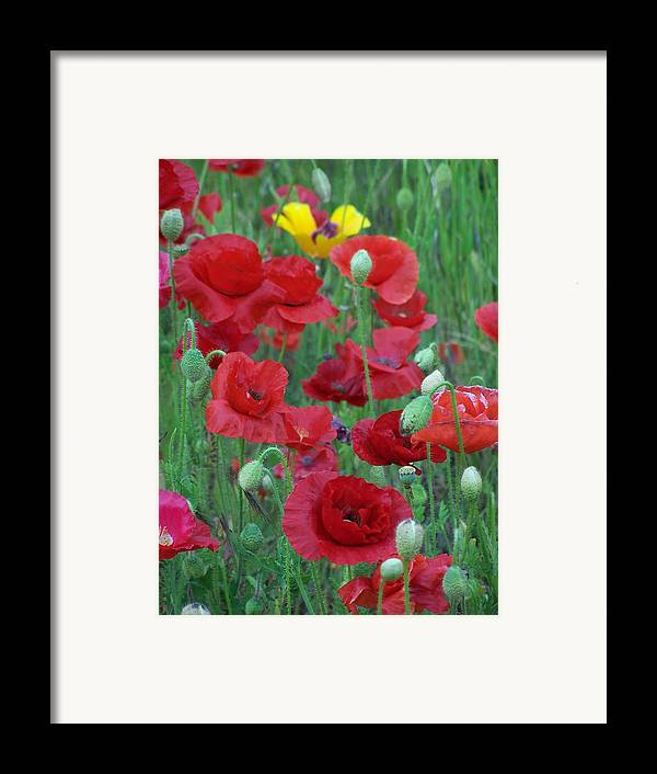 Red Poppies Framed Print featuring the photograph Red Poppies by Gene Ritchhart