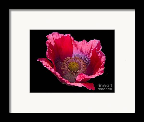 Flowers Framed Print featuring the photograph Red Poppy On Blk Velvet by Neil Doren