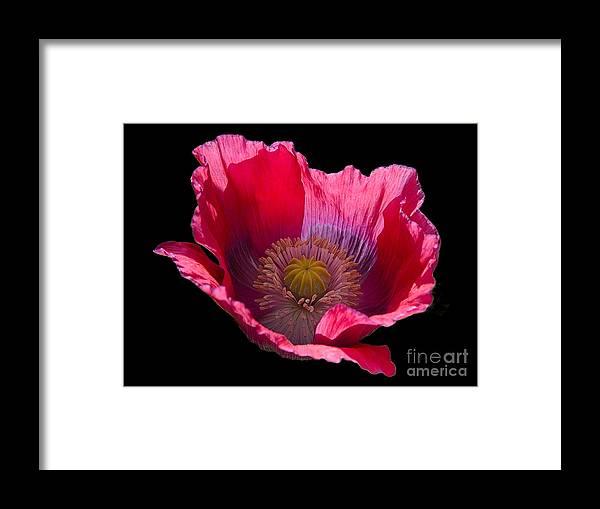 Flowers Framed Print featuring the photograph Red Poppy On Blk Velvet by Neil Doren