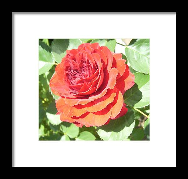 Rose Floral Flowers Garden Roses Framed Print featuring the photograph Red Rose by Lisa Roy