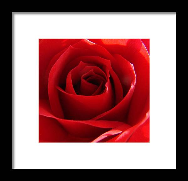 Roses Framed Print featuring the photograph Red Rose by Liz Vernand