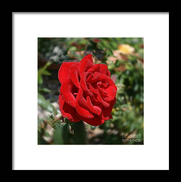 Flower Framed Print featuring the photograph Red Rose by Terry Burgess