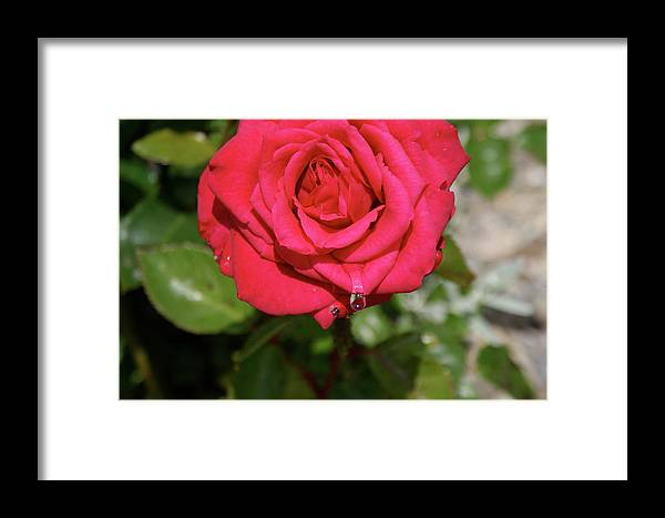 Flowers: Red Rose Dew Drops Framed Print featuring the photograph Red Rose With Droplet by Ann O Connell