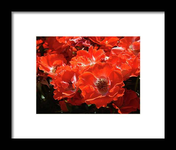Rose Framed Print featuring the photograph Red Roses Botanical Landscape 1 Red Rose Giclee Prints Baslee Troutman by Baslee Troutman
