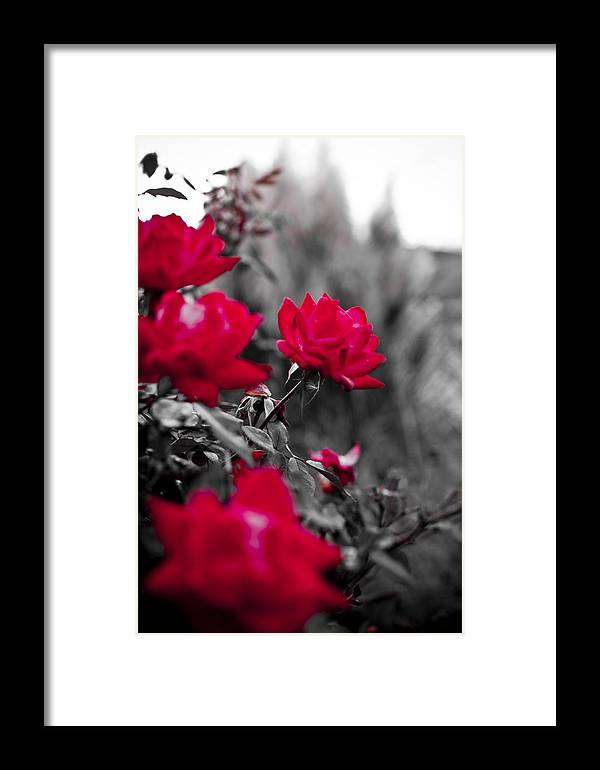 Red Framed Print featuring the photograph Red Roses by Dustin K Ryan