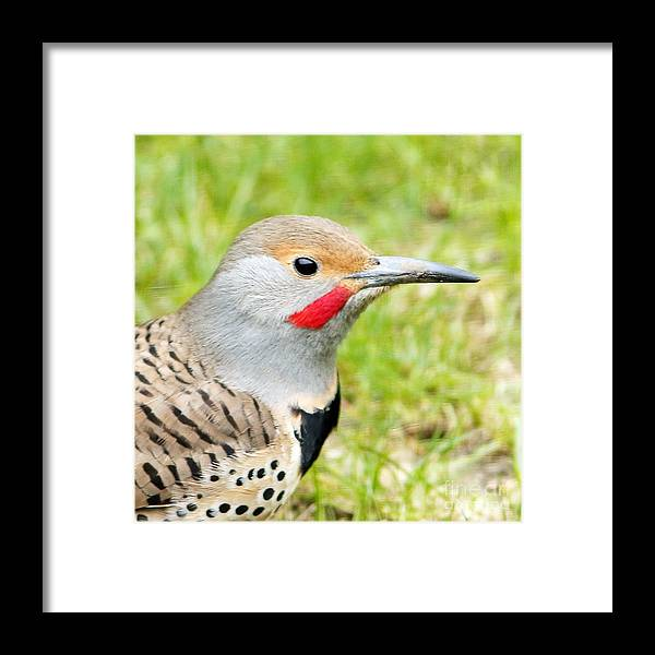 Flicker Framed Print featuring the photograph Red-shafted Indeed by Marland Howard