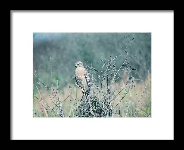 Animal Framed Print featuring the photograph Red Shouldered Hawk by Cindy Gregg