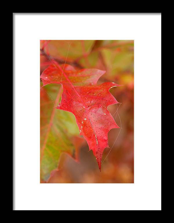 Oak Leaves Framed Print featuring the photograph Red Silk by Linda McRae