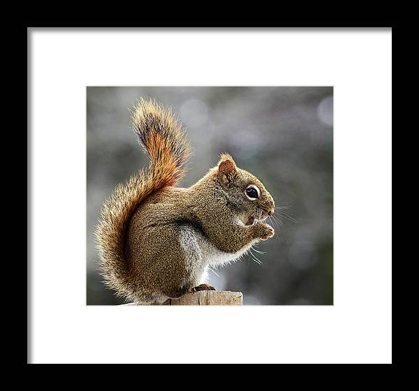 Squirrel Framed Print featuring the photograph Red Squirrel On Wooden Fence II by Jeff Galbraith