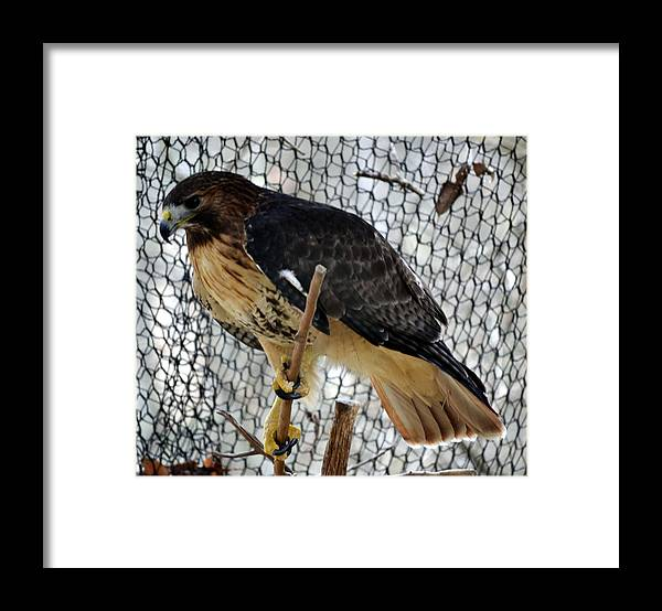 Animal Framed Print featuring the photograph Red Tail Hawk by Eva Thomas