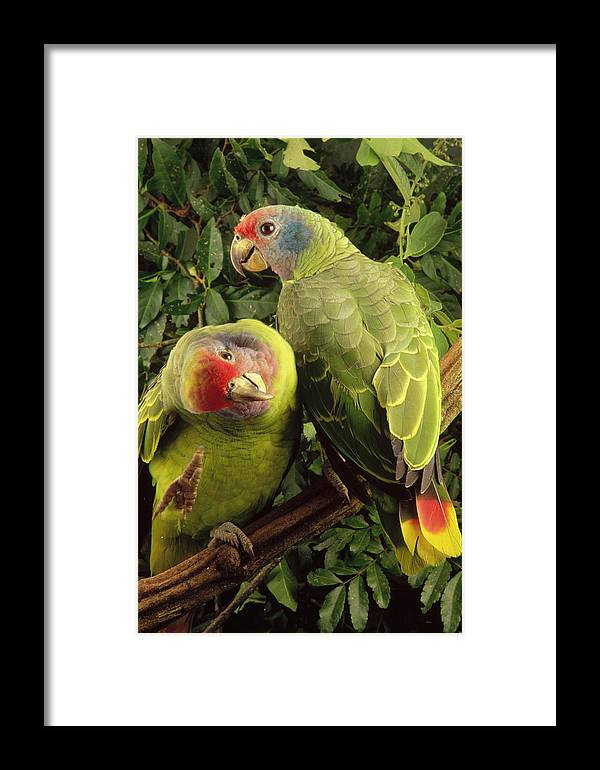 Mp Framed Print featuring the photograph Red-tailed Amazon Amazona Brasiliensis by Claus Meyer