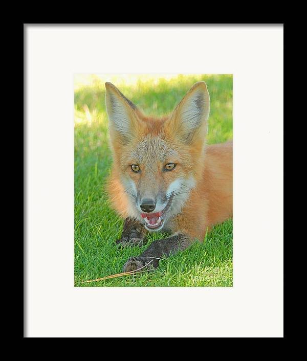 Fox Framed Print featuring the photograph Red Tailed Fox by Dennis Hammer