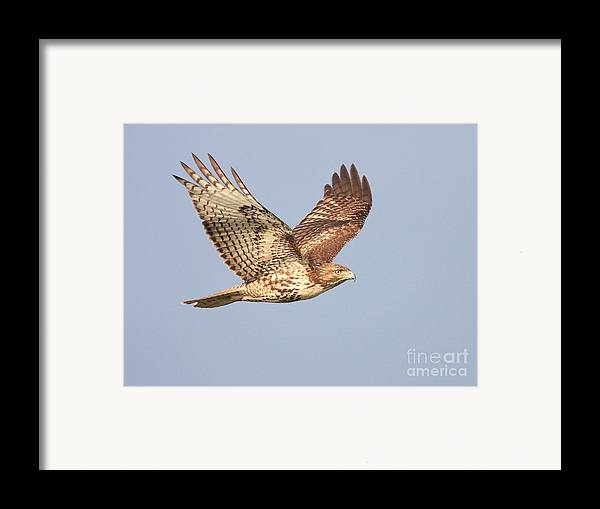 Red Tail Hawk Framed Print featuring the photograph Red Tailed Hawk 20100101-1 by Wingsdomain Art and Photography