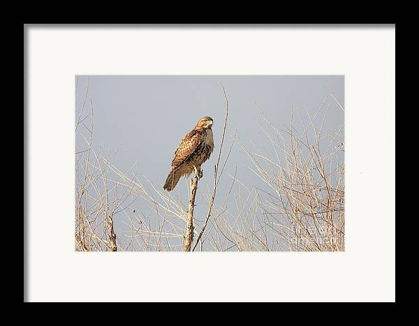Red Tail Hawk Framed Print featuring the photograph Red Tailed Hawk 20100101-5 by Wingsdomain Art and Photography