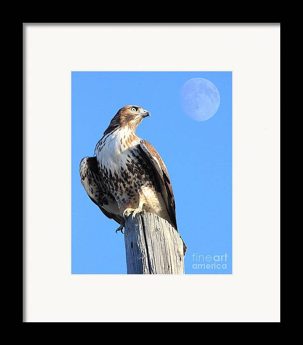 Wingsdomain Framed Print featuring the photograph Red Tailed Hawk And Moon by Wingsdomain Art and Photography