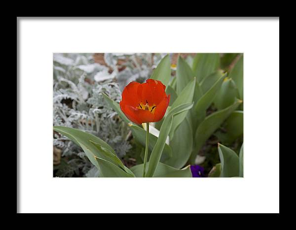 Red Tulip Framed Print featuring the photograph Red Tulip by Magda Levin-Gutierrez