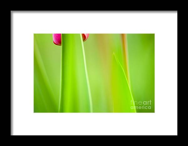 Flower Framed Print featuring the photograph Red Tulip by Silke Magino