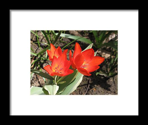 Tulips Framed Print featuring the photograph Red Tulips by Lea Novak