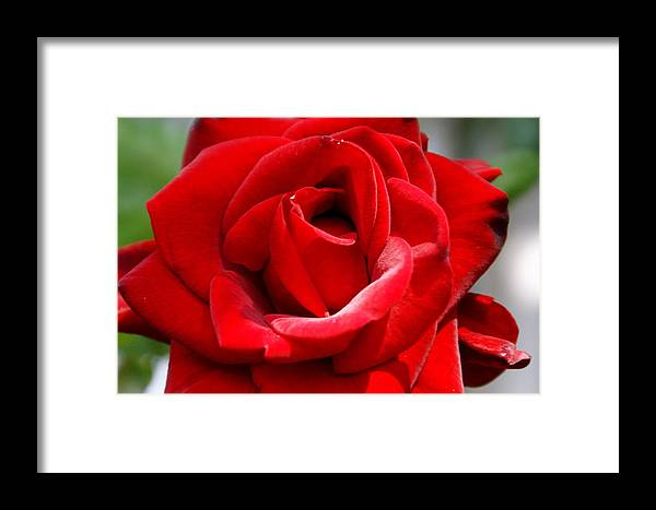 Flower Framed Print featuring the photograph Red Velveteen by Sonja Anderson