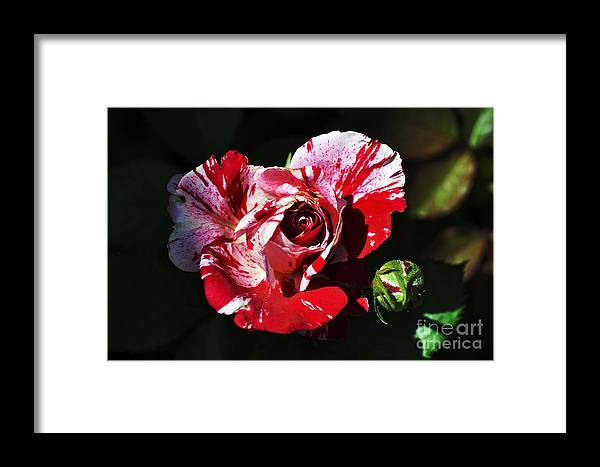 Clay Framed Print featuring the photograph Red Verigated Rose by Clayton Bruster