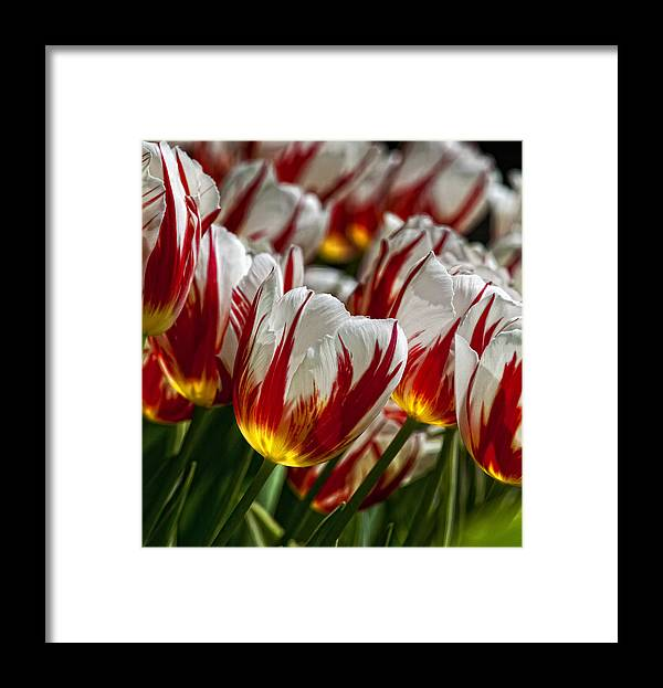 Tulip Framed Print featuring the photograph Red White And Yellow Tulips by Robert Ullmann