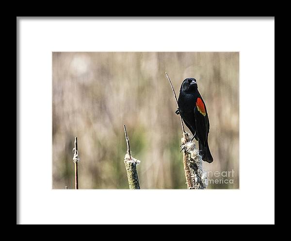 Animal Framed Print featuring the photograph Red Wing Blackbird by Bob Zuber