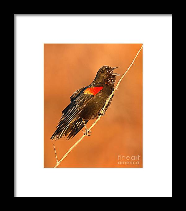 Blackbird Framed Print featuring the photograph Red-winged Blackbird Belting Out Spring Song by Max Allen