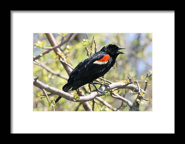 Betsy Lamere Framed Print featuring the photograph Red Winged Blackbird by Betsy LaMere