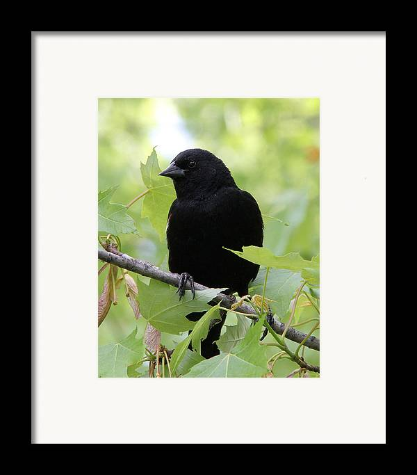 Red-winged Blackbird Framed Print featuring the photograph Red-winged Blackbird by Doris Potter