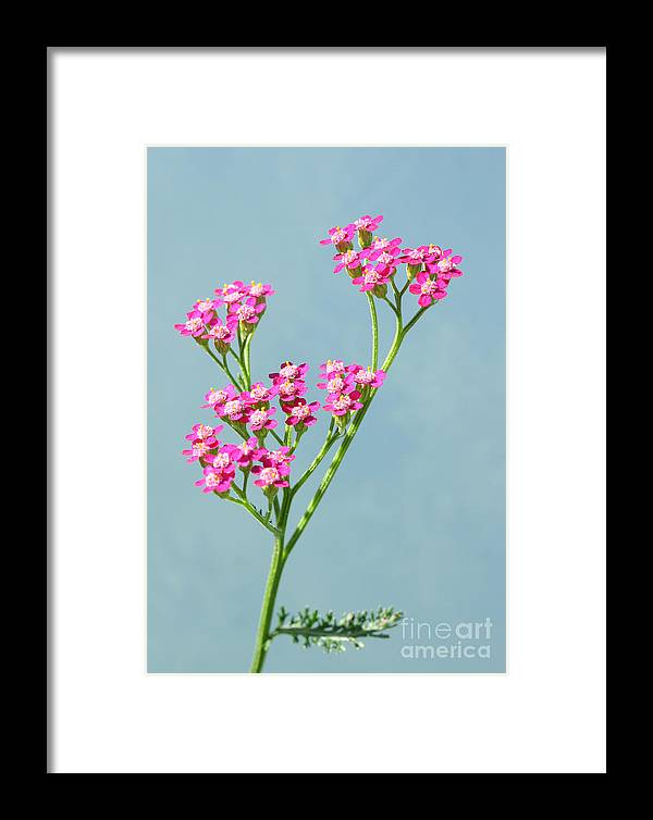 Flowers Framed Print featuring the photograph Red Yarrow by Steve Augustin