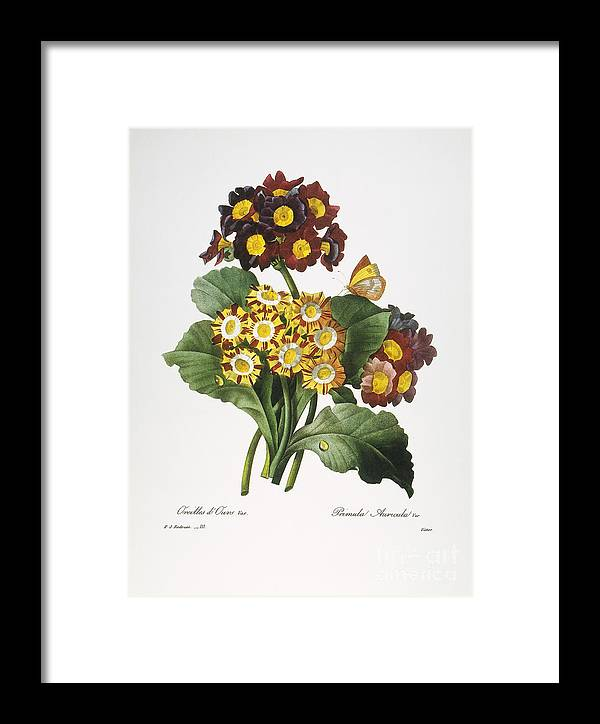 1833 Framed Print featuring the photograph Redoute: Auricula, 1833 by Granger