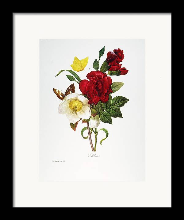 1833 Framed Print featuring the photograph Redoute: Hellebore, 1833 by Granger
