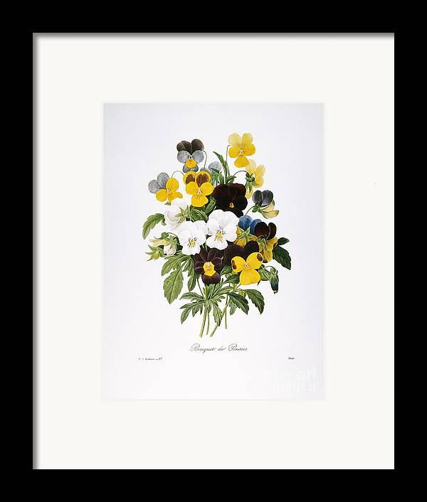 1833 Framed Print featuring the photograph Redoute: Pansy, 1833 by Granger