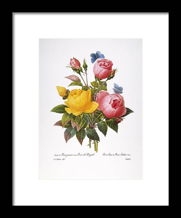 1833 Framed Print featuring the photograph Redoute: Roses, 1833 by Granger