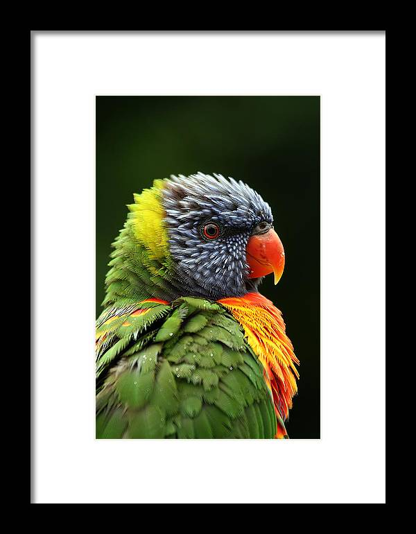 Rainbow Lorikeet Framed Print featuring the photograph Reflecting In The Rain by Lesley Smitheringale