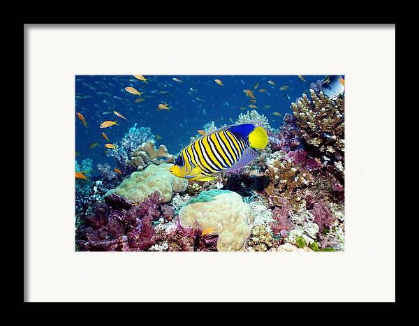 Royal Angelfish Framed Print featuring the photograph Regal Angelfish by Georgette Douwma