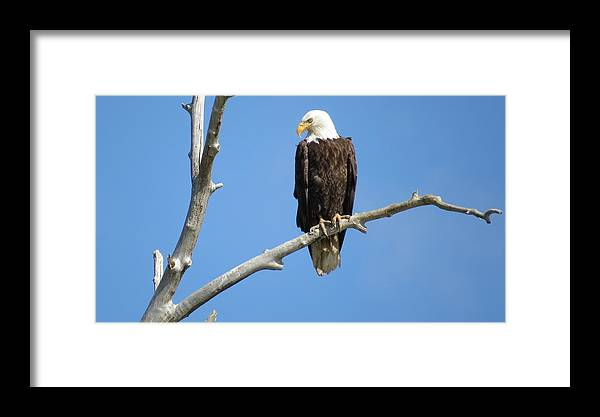 American Bald Eagle Framed Print featuring the photograph Regal Eagle by Christi Chapman